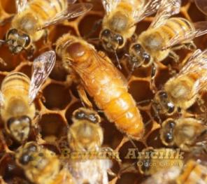 İtalyan Kraliçe Ana Arı Özellikleri