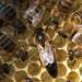Satılık Arı Çeşitleri